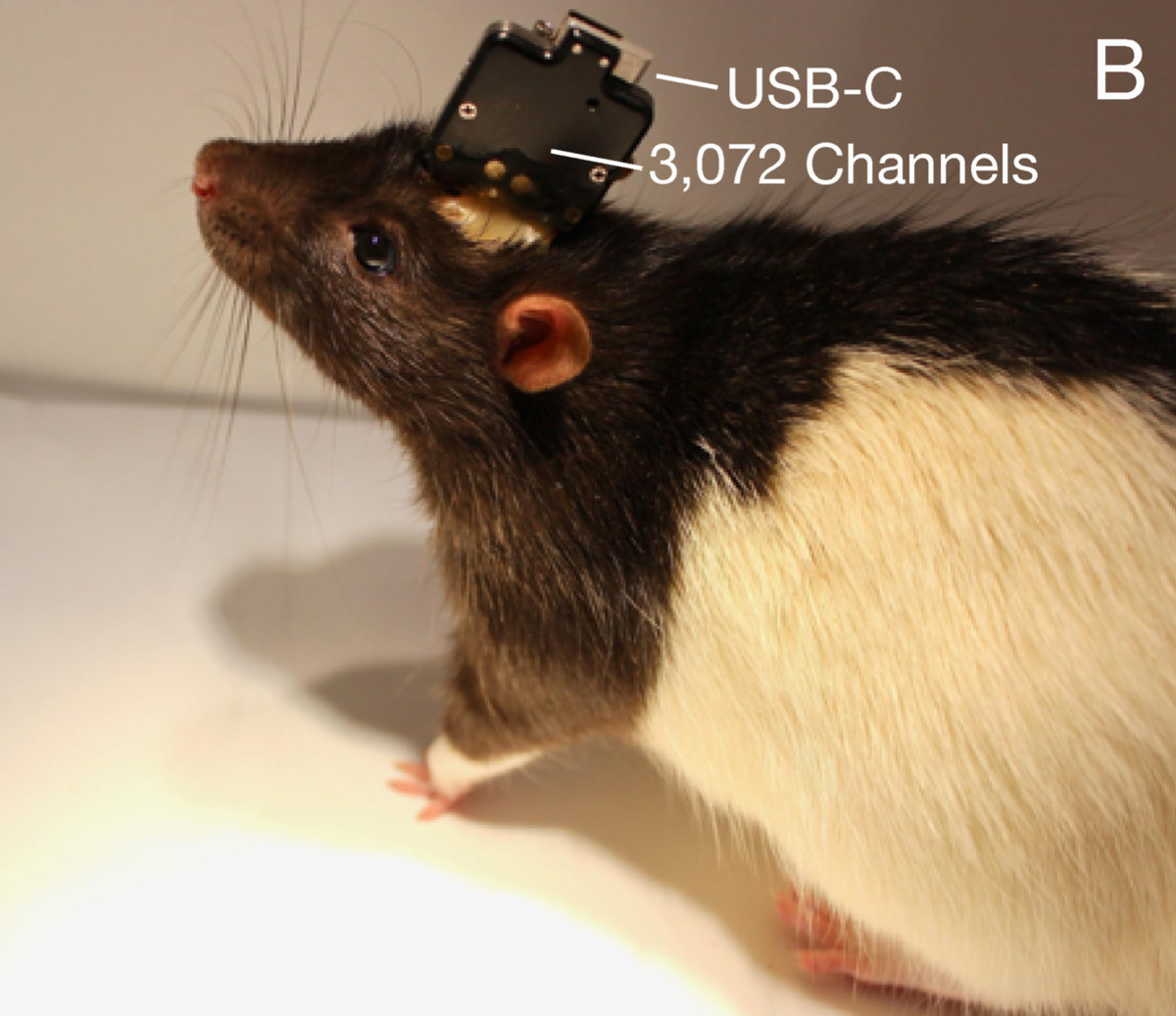 Neuralink's system embedded in a laboratory rat